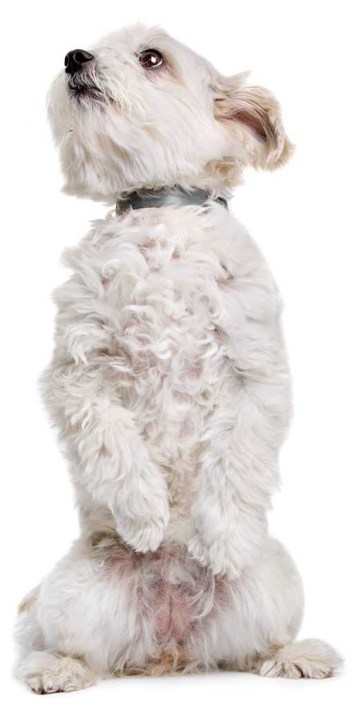Maltese terrier standing on hind legs
