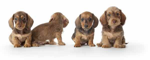 Litter of Daschound puppies - puppy school teaches pups important obedience skills like sit, drop, recall and heel.